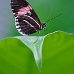 Red Passion Flower Butterfly (Heliconius Erato Petiverana)